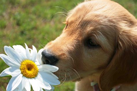 do golden retrievers smell take time to smell the flowers by photo weather underground