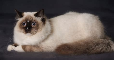 ragdoll information ragdoll cat information neat pets dogs cats