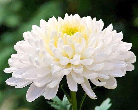 Jual Bibit Bunga Krisan jual 5 benih bibit bunga krisan chrysanthemum white di