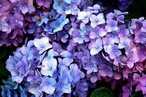 ortensia fiore ortensie come eliminare i fiori secchi pollicegreen