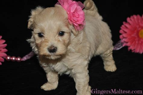 maltipoo puppies for sale nc maltipoo puppies for sale near raleigh nc maltepoo the knownledge