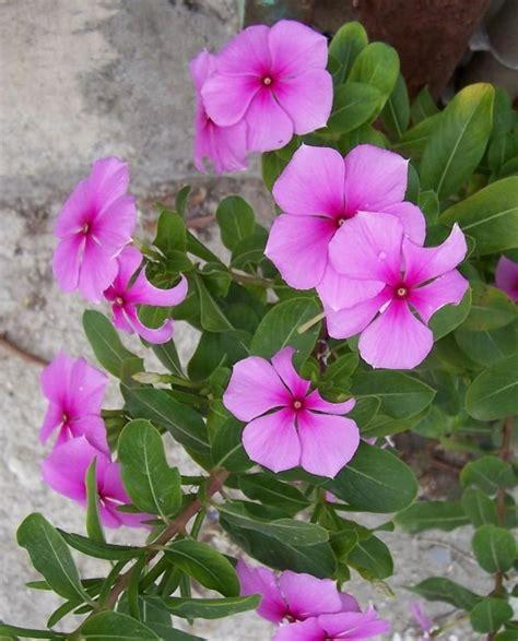 fiore pervinca pervinca linguaggio dei fiori blogmamma it blogmamma it