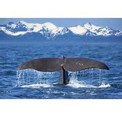 Whale Watching In The Midnight Sun  Holidays 2018/2019