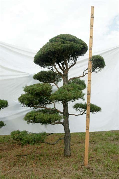 scotch pine topiary 187 scotch pine topiary tree 14 plants beautiful nursery