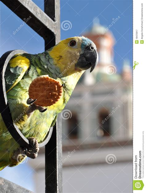 parrot eating a cracker stock image image of cookie
