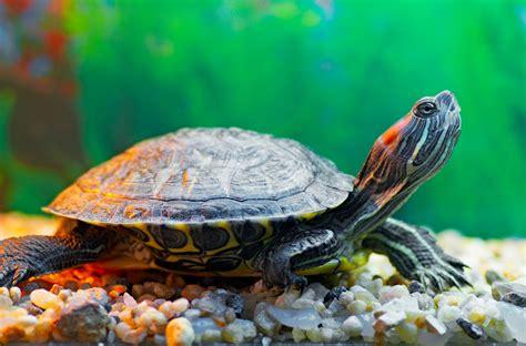 pet species how to identify pet turtle species