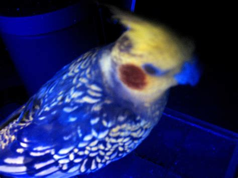 uv light for birds file cockatiel blacklight jpg wikimedia commons