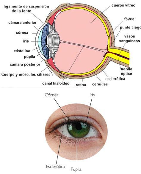 imagenes de ojos humanos y sus partes cu 225 les son las partes del ojo uncomo
