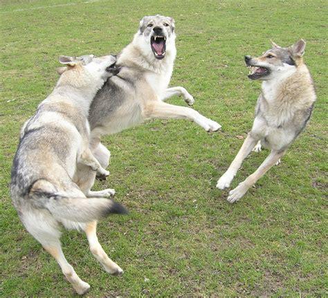 wolfdog puppy 1000 images about wolfdog on czechoslovakian wolfdog wolfdog and