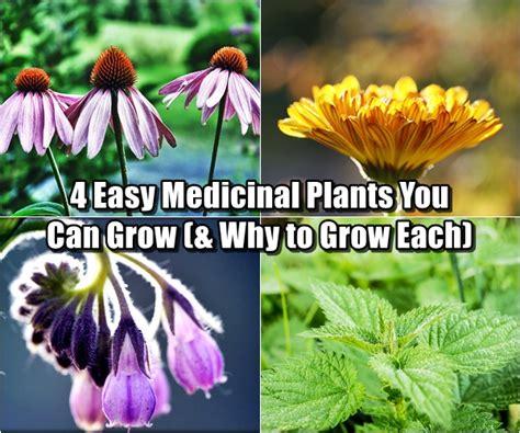 4 plants you can grow today to keep mosquitoes away the 4 easy medicinal plants you can grow why to grow each