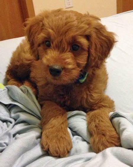 goldendoodle puppy chewing java the goldendoodle puppy what a cutie puppies