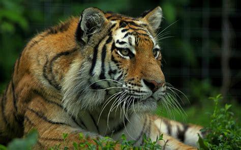 Imagenes 4k Tigre | tigre 4k ultra hd fondo de pantalla and fondo de
