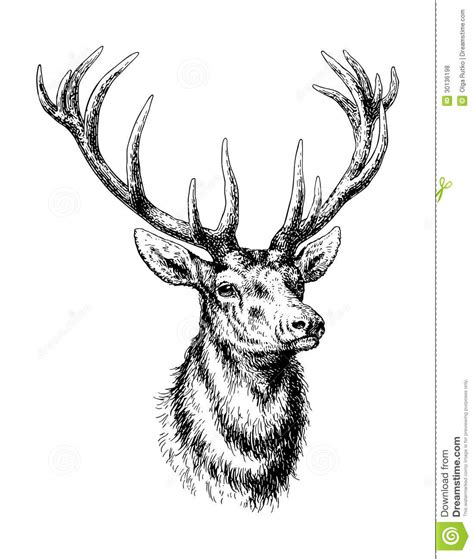deer stock vector illustration of animal outdoors horn