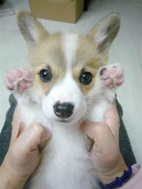 how much is a corgi puppy 367 best corgi puppies images on