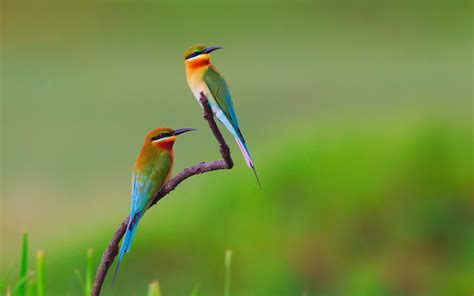bee eater wallpapers first hd wallpapers golden bee eater full hd wallpaper and background