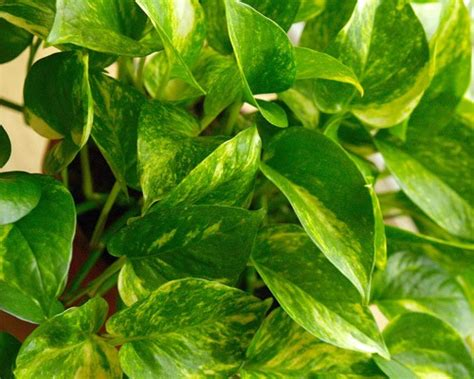 golden pothos archives sitsitso greening your home houseplants can help control indoor