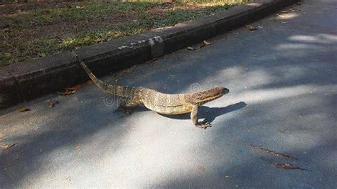 baby asian water monitor lizard varanus salvator
