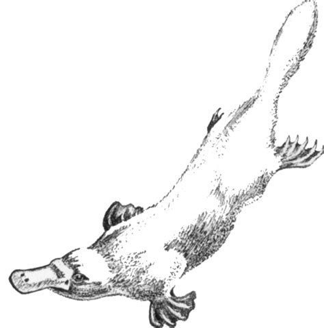 file platypus sketch by hmich176 gif wikipedia