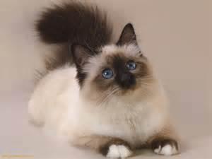 Gato Persa Related Keywords & Suggestions - Gato Persa Long Tail ... Gato