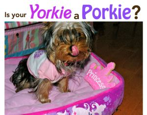 how much should a yorkie weigh how much should your morkie weigh about morkies