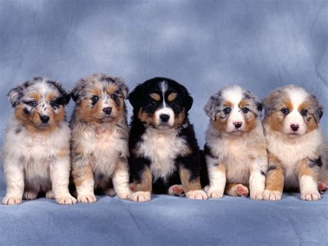 puppies background puppies wallpaper desktop 7 background wallpaper hivewallpaper