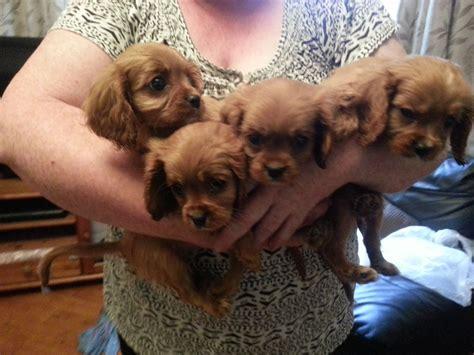 ruby cavalier king charles spaniel puppies for sale cavalier king charles spaniel puppies for sale auto design tech