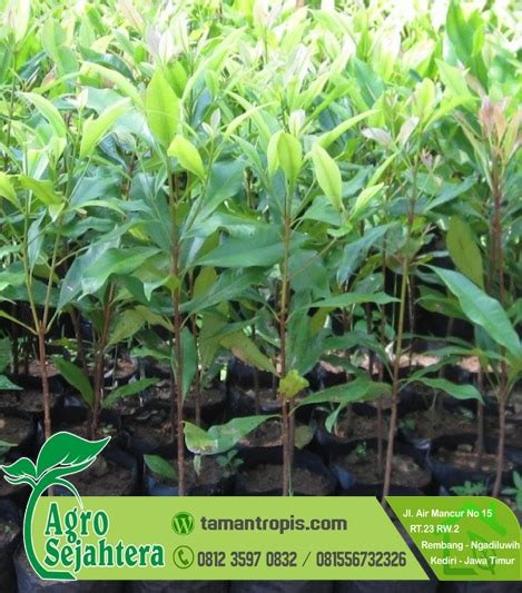 Jual Bibit Cengkeh Zanzibar Jawa Barat jual pohon cengkeh zanzibar 2 meter