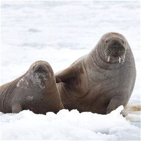 walrus breed walrus reproduction animal facts and information