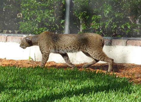 Puma/bobcat Hybrid Florida?