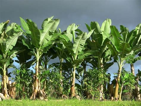 pianta di banana in vaso banano alberi da frutto coltivazione banane