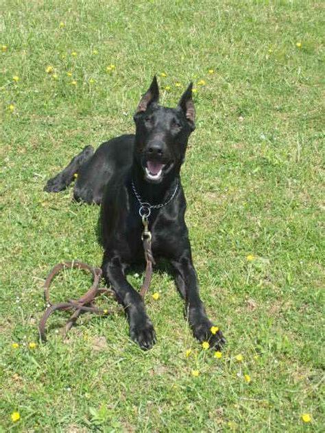 black doberman puppies 25 best ideas about black doberman on doberman pinscher doberman