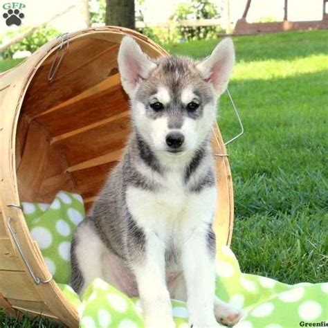 husky puppies for sale ny siberian husky mix puppies for sale in de md ny nj philly dc and baltimore