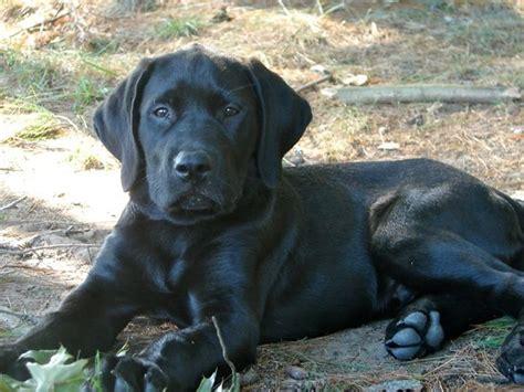 lab mastiff mix puppies for sale bullmastiff puppy for adoption