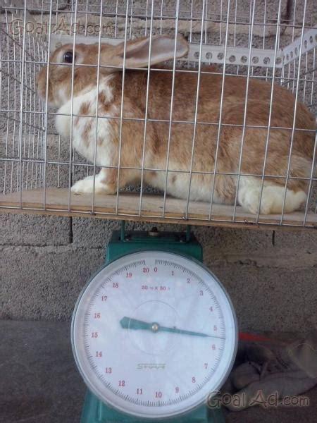 gabbie conigli giganti vendita conigli razza appartamento salve vendo cerca