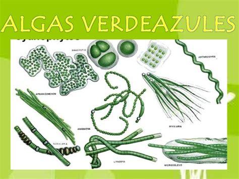 imagenes de algas verdes y azules algas verdeazules