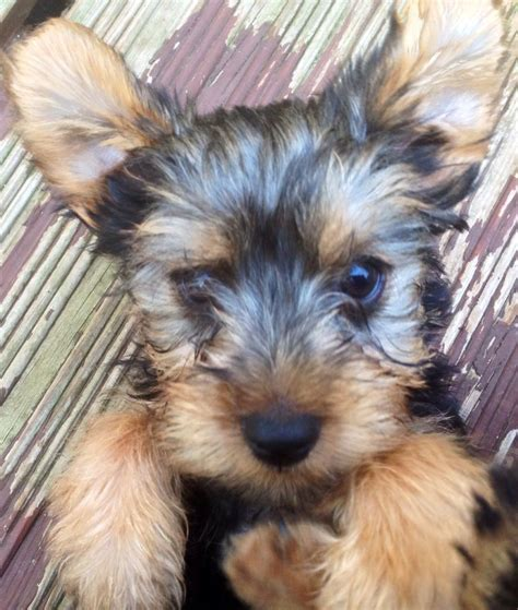 yorkie standard true terrier standard size for sale maidstone kent pets4homes