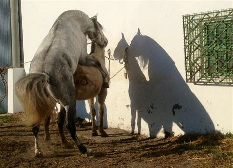 breeding horses mares stallion stallion breeding mare video search engine at search com