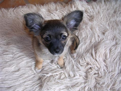 chiweenie puppies for sale in pa chiweenie puppies for sale in pa