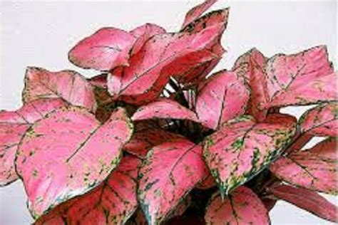 Tanaman Hias Aglaonema Snow White evergreen aglaonema varieties part 2