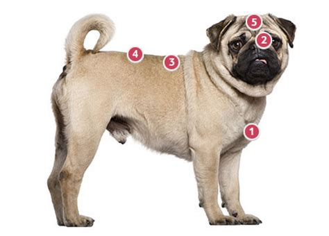 pug health pug information and facts breeds picture