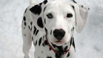 Patung Anjing Golden Retriever 3 by 10 Jenis Anjing Paling Berbahaya Di Dunia Oka Suryawan