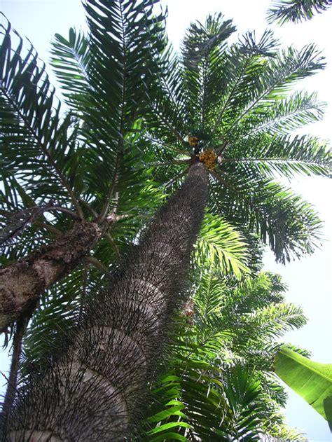 hing ka tree pejibaye palm tree anders eismann