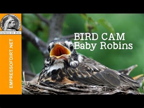 baby robins bobbing for food every time they hear a twig