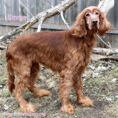 setter dog rescue irish setter dog for adoption in bloomington mn adn
