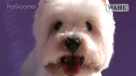 trim cairn terrier face grooming guide west highland white terrier pet trim
