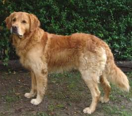 The golden retriever breed is a gun dog breed the golden retriever is
