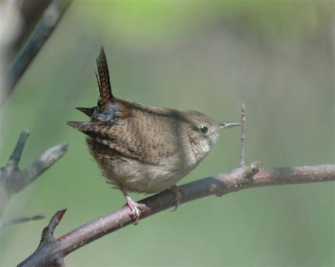 house or winter wrens n illinois help me identify a
