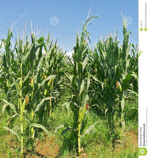 irrigated corn corn field stock images image 5727114