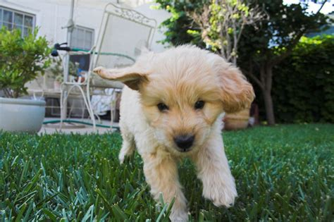 goldendoodle puppy information goldendoodle puppy information and pictures breeds
