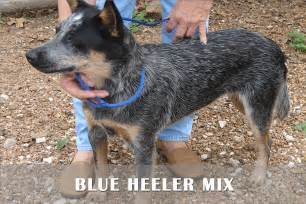 Blue heeler puppies for sale in pa blue heller mix puppies for sale